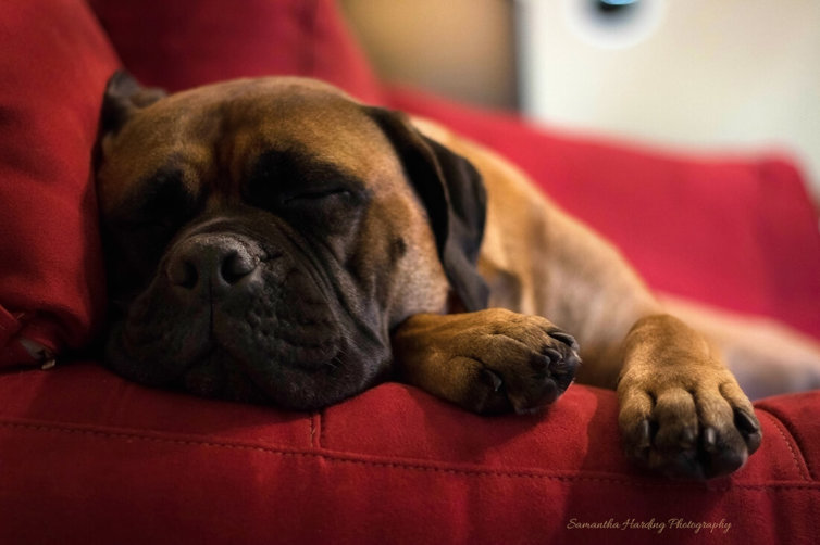 Pet Photography Zac Napping